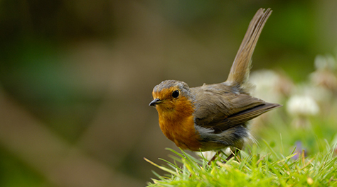 Robin Erithacus rubecula, in garden, threatening posture to rival robin.  Co. Durham.  July.